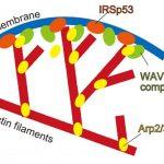 AIを用いた新たなタンパク質の細胞内位置の予測研究を紹介!